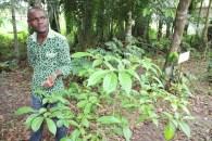 T. iboga, shrub