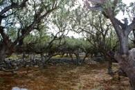 Olive trees, Mani