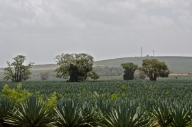 Sisal and Baobab, Kenya