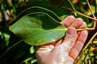 Protea cynaroides, leaf