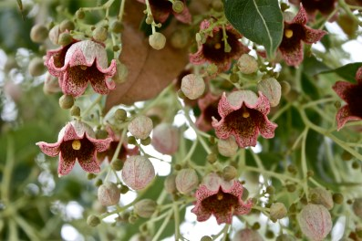 brachychiton flower