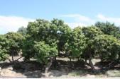 Pistachia lentiscus, Chios, Greece