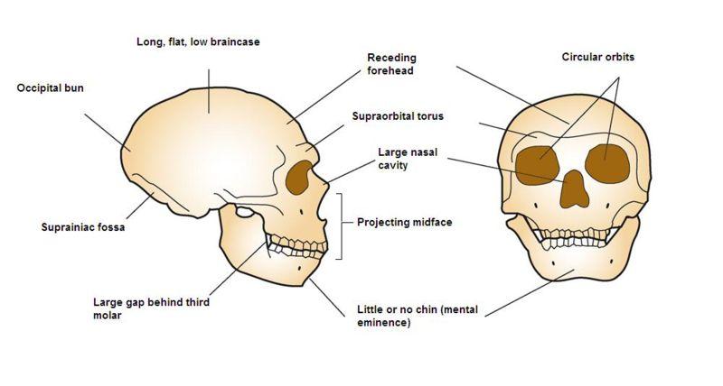 Neandertal CranialAnatomy