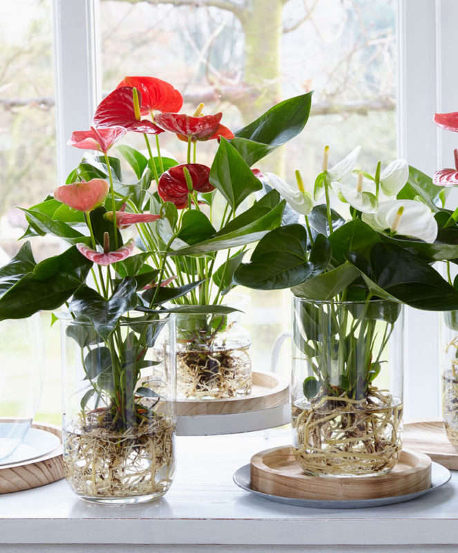 3x Anthuriums Ideas Like You Have Never Seen Before