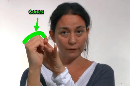 Le_modèle_du_Cerveau_dans_la_main_de_Daniel_Siegel__démonstration_faite_par_Nadine_Gaudin_-_YouTube
