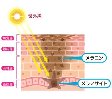 紫外線でシミができる仕組み