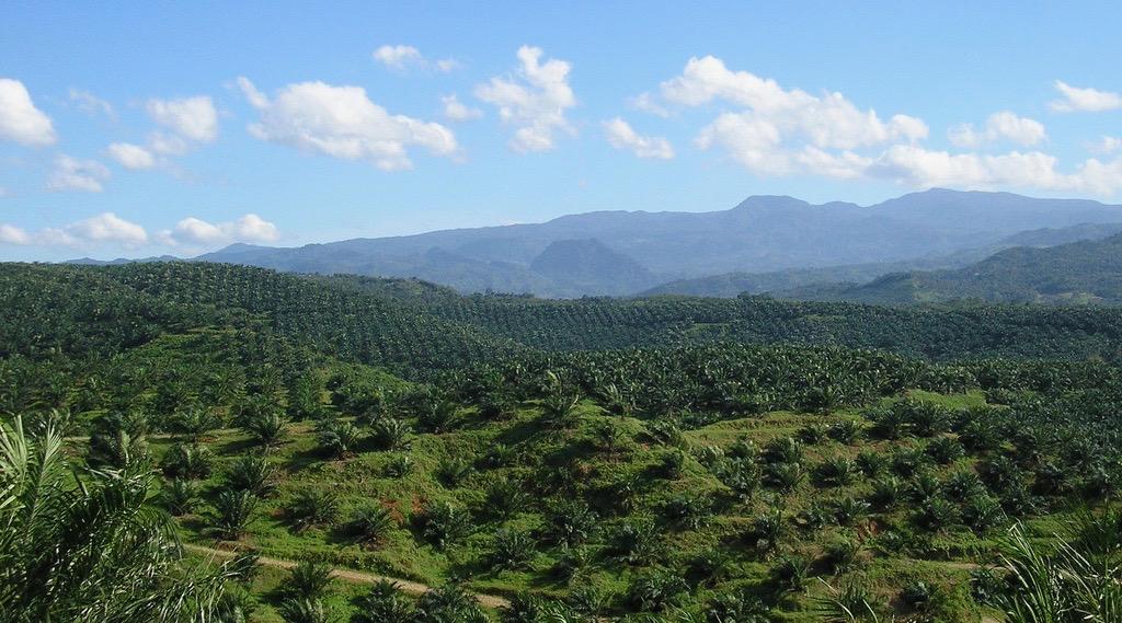 Photo d'une plantation d'huile de palme