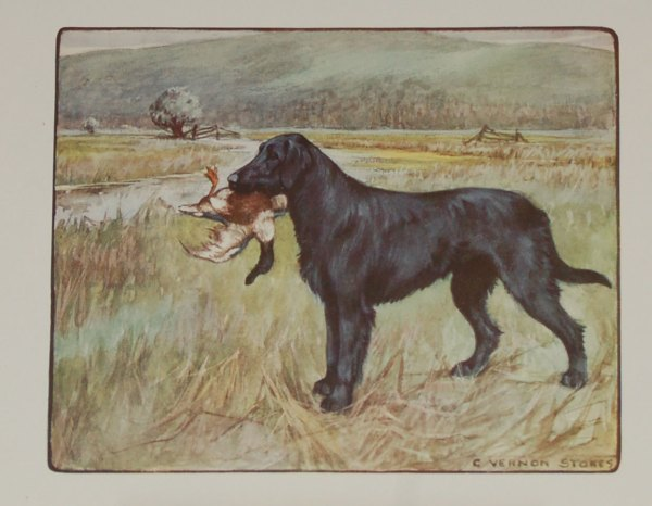 A 1909 Antique Print of a Retriever, print is by George Vernon Stokes