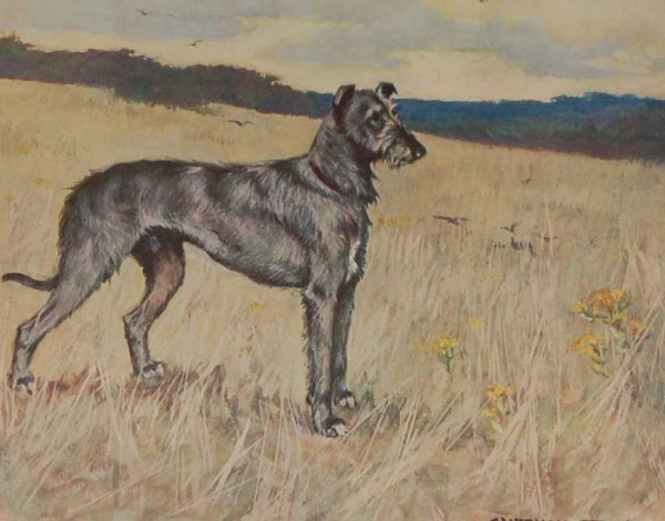 A 1909 Antique Print of a Deerhound, print is in excellent condition with no foxing, by George Vernon Stokes.