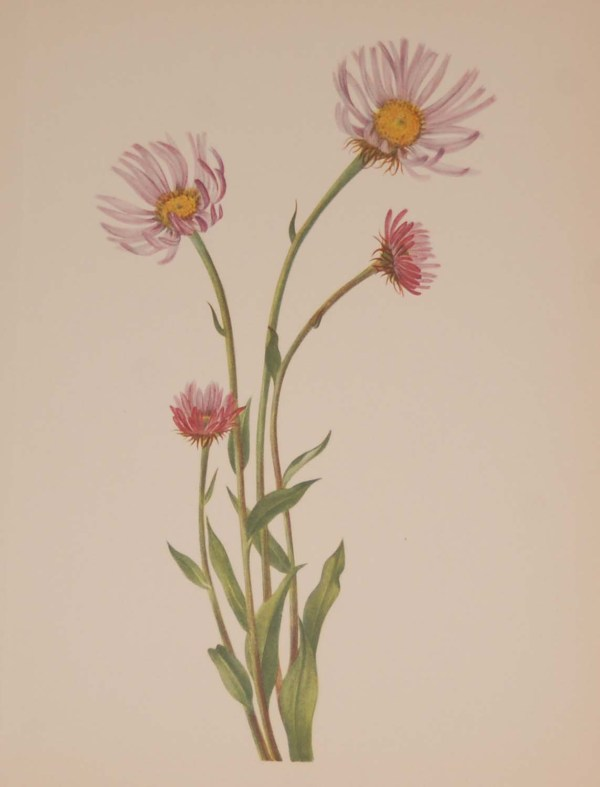 Vintage botanical print from 1925 by Mary Vaux Walcott titled Alaska Fleabane, stamped with initials and dated bottom left.