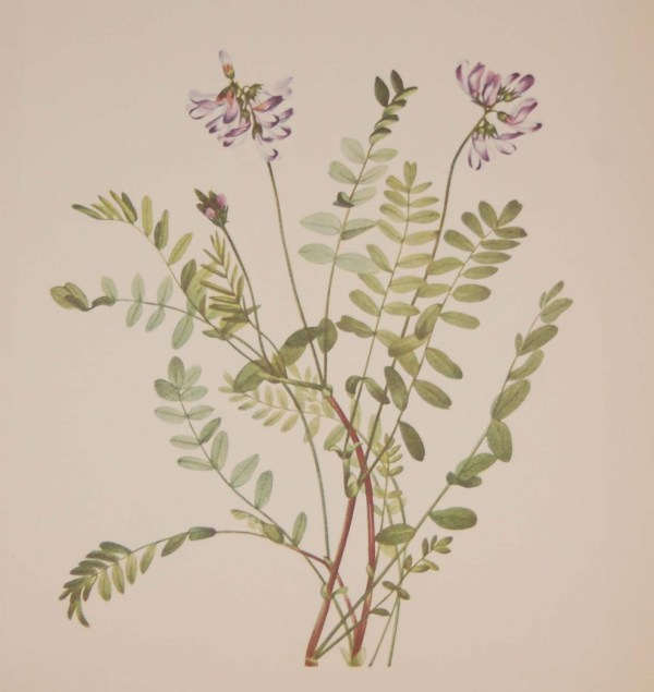 Vintage botanical print from 1925 by Mary Vaux Walcott titled Alpine Milkvetch 1925 Vintage Botanical Print , stamped with initials and dated bottom left.