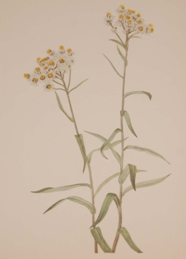 Vintage botanical print from 1925 by Mary Vaux Walcott titled Greyleaf Fivefinger 1925 Vintage Botanical Print , stamped with initials and dated bottom left.