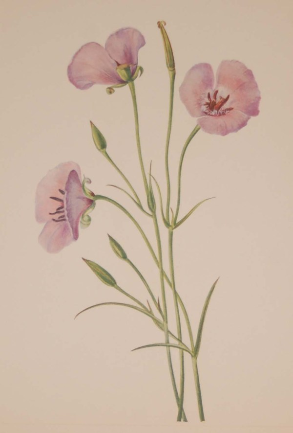 Vintage botanical print from 1925 by Mary Vaux Walcott titled Lilac Mariposa, stamped with initials and dated bottom left.