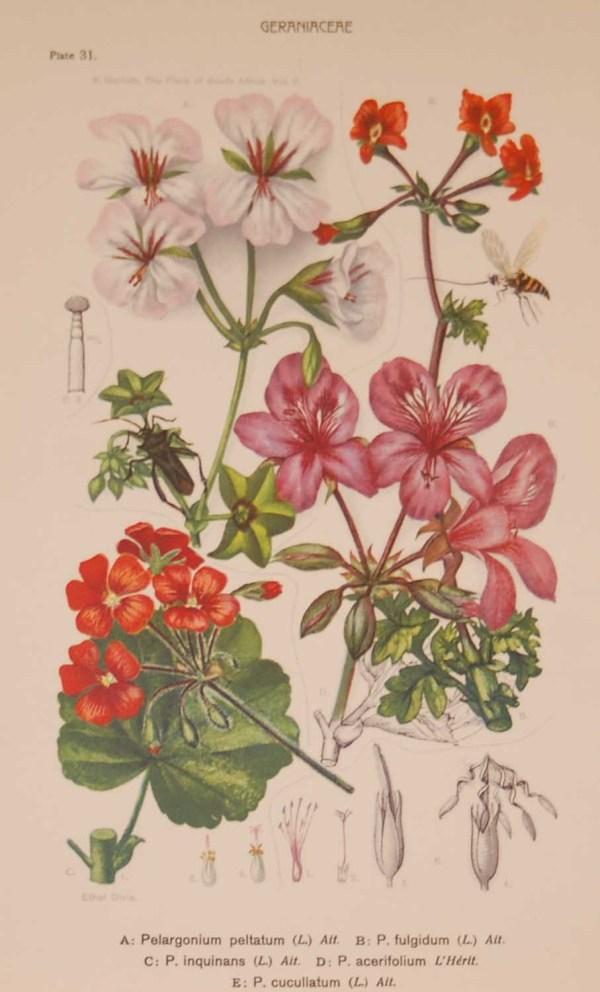 Original 1925 vintage botanical print Geraniaceae Plate 31 by Rudolph Marloth