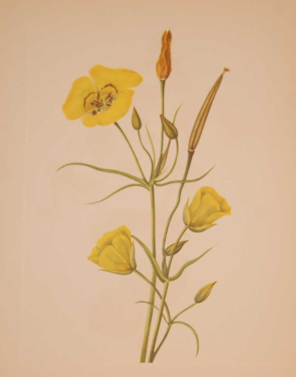 Vintage botanical print from 1925 by Mary Vaux Walcott titled Goldenbowl Mariposa, stamped with initials and dated bottom left