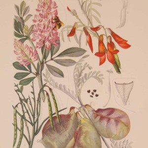 Original 1925 vintage botanical print titled Leguminoseae Papilionatae Galegeae Plate 28 by Rudolph Marloth