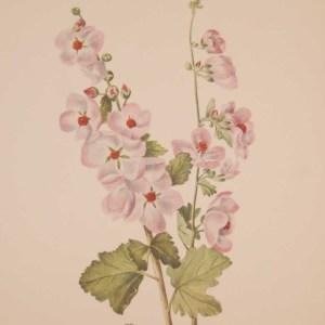 Vintage botanical print from 1925 by Mary Vaux Walcott titled Orange-eye Globemallow , stamped with initials and dated bottom left.