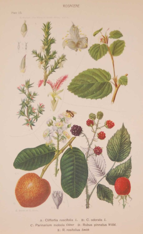 Original 1925 vintage botanical print titled Rosaceae Plate 15 by Rudolph Marloth