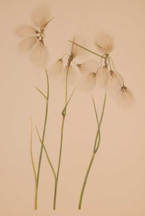 Vintage botanical print from 1925 by Mary Vaux Walcott titled Tassel Cottongrass, stamped with initials and dated bottom left