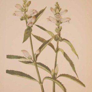 Vintage botanical print from 1925 by Mary Vaux Walcott titled Turtlehead , stamped with initials and dated bottom left