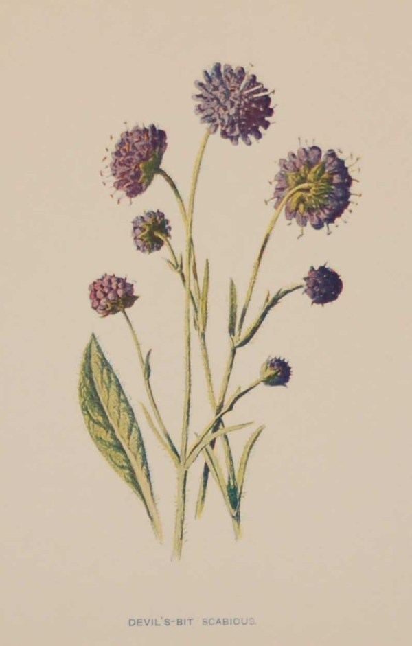 Antique botanical print titled Devils-bit Scabious by F E Hulme. The print was published circa 1895, this set of prints are referenced as being produced between 1885 and 1895.
