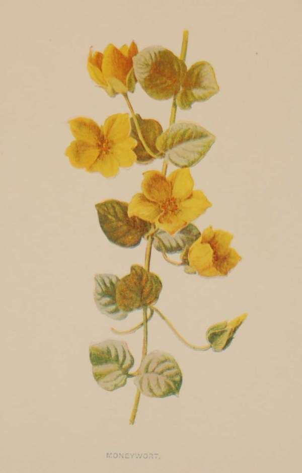 Antique botanical print titled Moneywort by F E Hulme. The print was published circa 1895, this set of prints are referenced as being produced between 1885 and 1895.