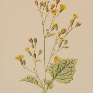 Antique botanical print titled Nipplewort by F E Hulme. The print was published circa 1895, this set of prints are referenced as being produced between 1885 and 1895.