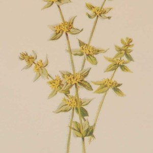 Antique botanical print titled Crosswort by F E Hulme. The print was published circa 1895, this set of prints are referenced as being produced between 1885 and 1895.