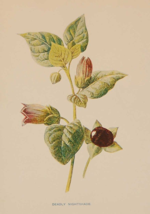 Antique botanical print titled Deadly Nightshade by F E Hulme. The print was published circa 1895.