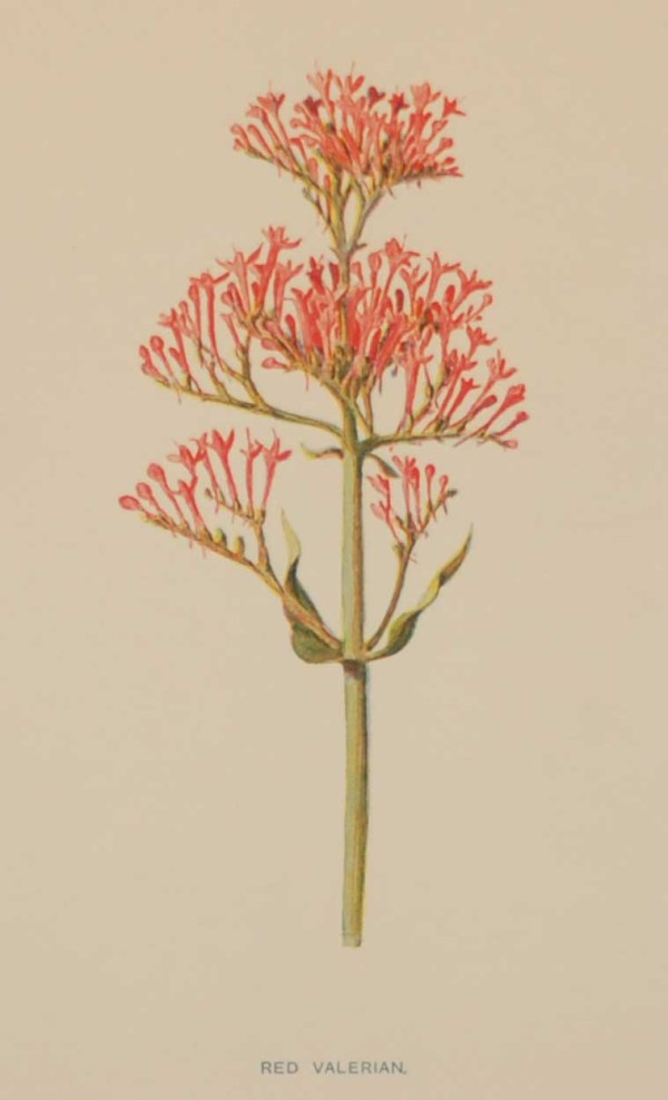 Antique botanical print titled Red Valerian by F E Hulme. The print was published circa 1895.