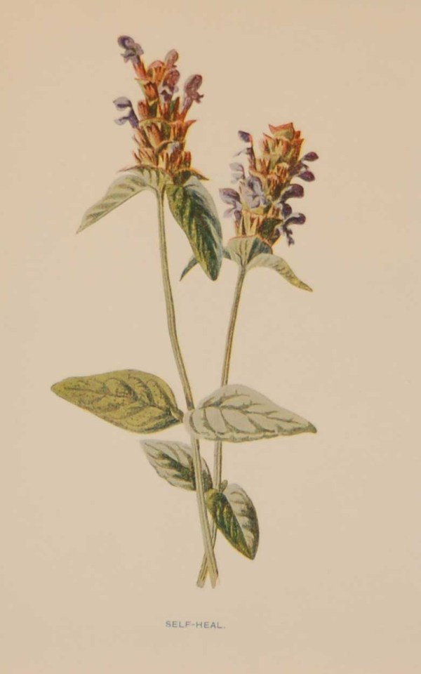 Antique botanical print titled Self Heal by F E Hulme. The print was published circa 1895.
