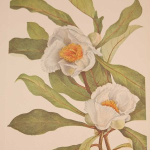 Vintage botanical print from 1925 by Mary Vaux Walcott titled Franklinia, stamped with initials and dated bottom left.