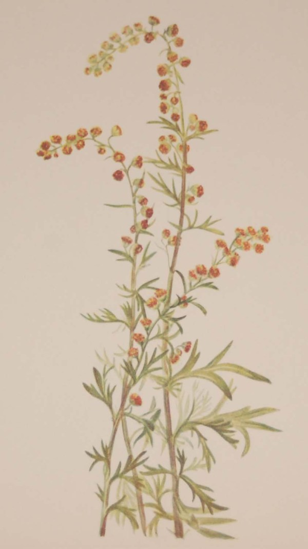 Vintage botanical print from 1925 by Mary Vaux Walcott titled Rock Wormwood, stamped with initials and dated bottom left.