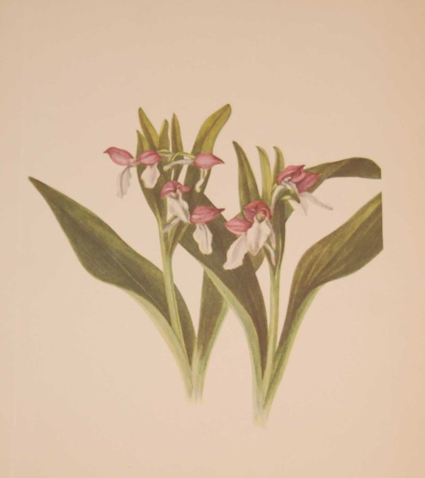 Vintage botanical print from 1925 by Mary Vaux Walcott titled Showy Orchis, stamped with initials and dated bottom left.