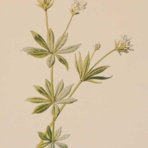 Antique botanical print titled Woodruff by F E Hulme. The print was published circa 1895.