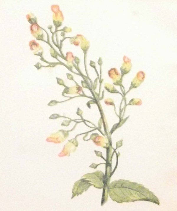Antique Botanical print by Anne Pratt titled Knotted Fig Wort. Pratt was one of the best known botanical illustrators of the time.