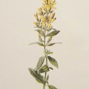 Antique botanical print titled Antique botanical print titled Hairy St John's Wort by F E Hulme.