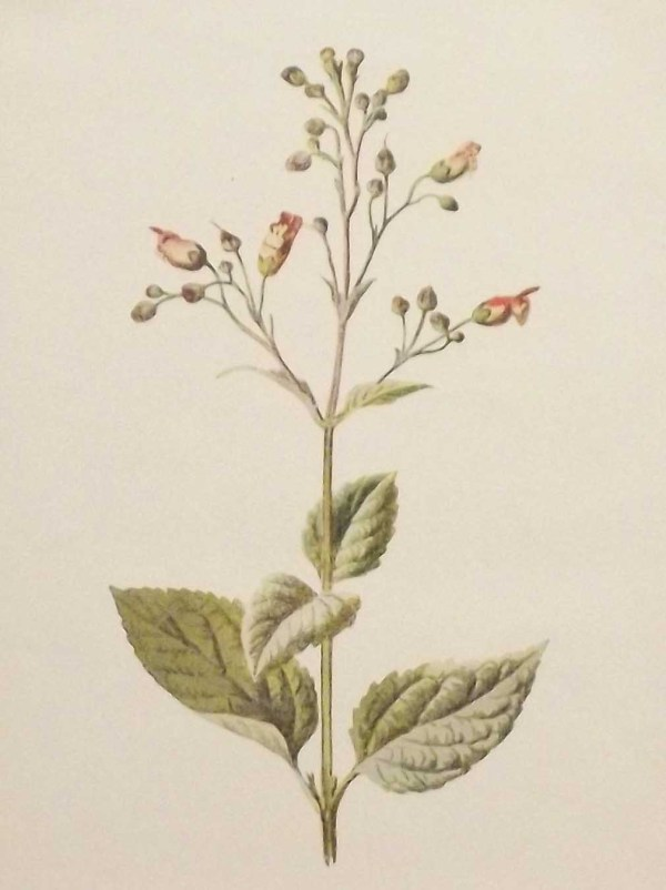 Antique botanical print titled Water Fig-Wort by F E Hulme. The print was published circa 1895.