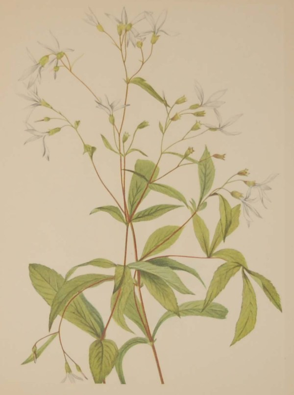 Vintage botanical print from 1925 by Mary Vaux Walcott titled Bowmansroot, stamped with initials and dated bottom left.