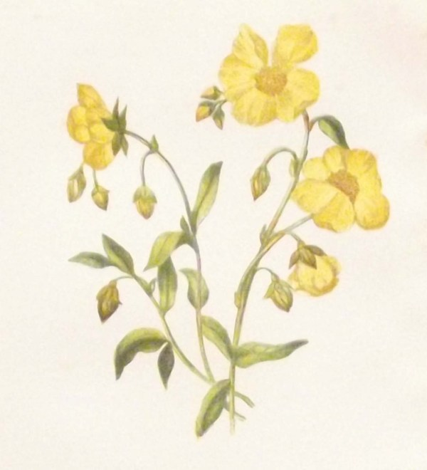 Antique Botanical print by Anne Pratt titled Common Citrus or Rock Rose. Pratt was one of the best known botanical illustrators of the time.