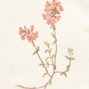 Antique Botanical print by Anne Pratt titled Wild Thyme. Pratt was one of the best known botanical illustrators of the time.