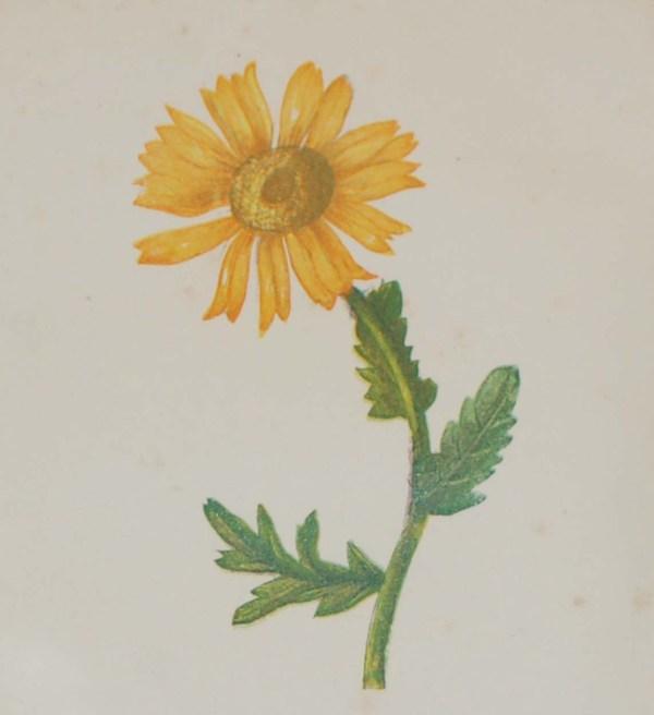 Antique Botanical prints by Anne Pratt titled, Corn Marigold, Lesser Celandine. Pratt was one of the best known botanical illustrators of the time.