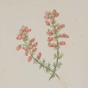 Antique Botanical prints by Anne Pratt titled, Cuckoo Flower, Fine-leaved Heath. Pratt was one of the best known botanical illustrators of the time.
