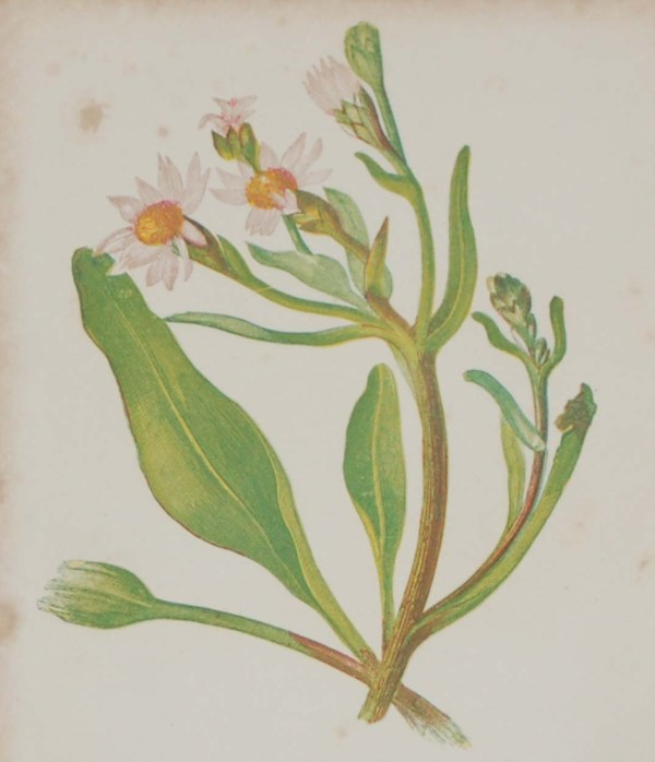 Antique Botanical prints by Anne Pratt titled, Michaelmas Daisy, Narrow Leaved Pea. Pratt was one of the best known botanical illustrators of the time.