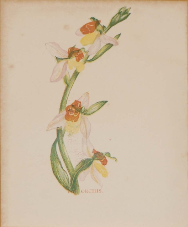 Antique Botanical prints by Anne Pratt titled, The Orchis, Fly Orchis. Pratt was one of the best known botanical illustrators of the time.