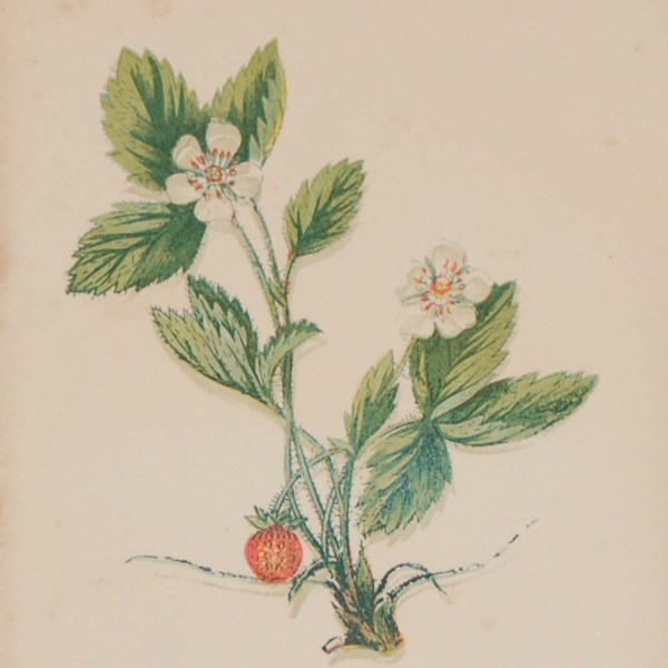Antique Botanical prints by Anne Pratt titled, Wood Strawberry, Corn Feverfew. Pratt was one of the best known botanical illustrators of the time.