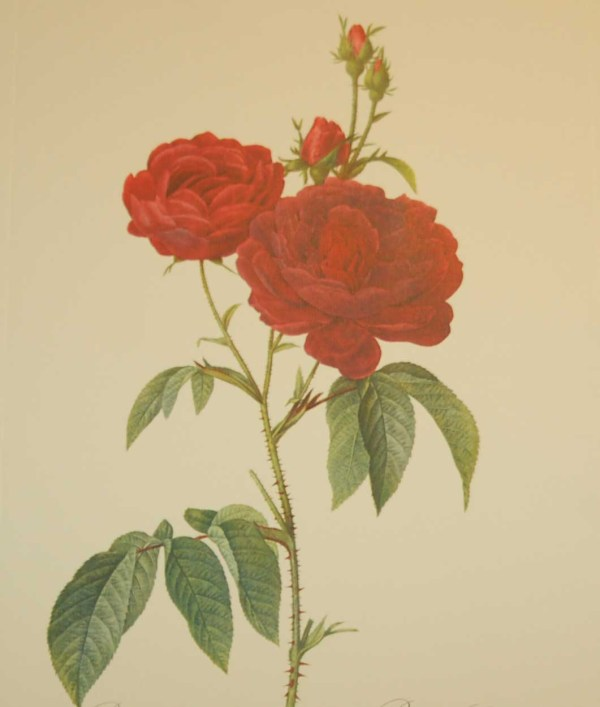 Beautiful vintage print after the legendary painter of Roses, P J Redouté, titled, Rosa Gallicia, Rosier Eveque.