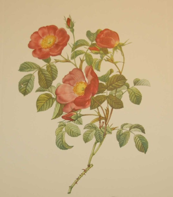 Beautiful vintage print after the legendary painter of Roses, P J Redouté, titled, Rosa Lumila, Rosier d'Amour.