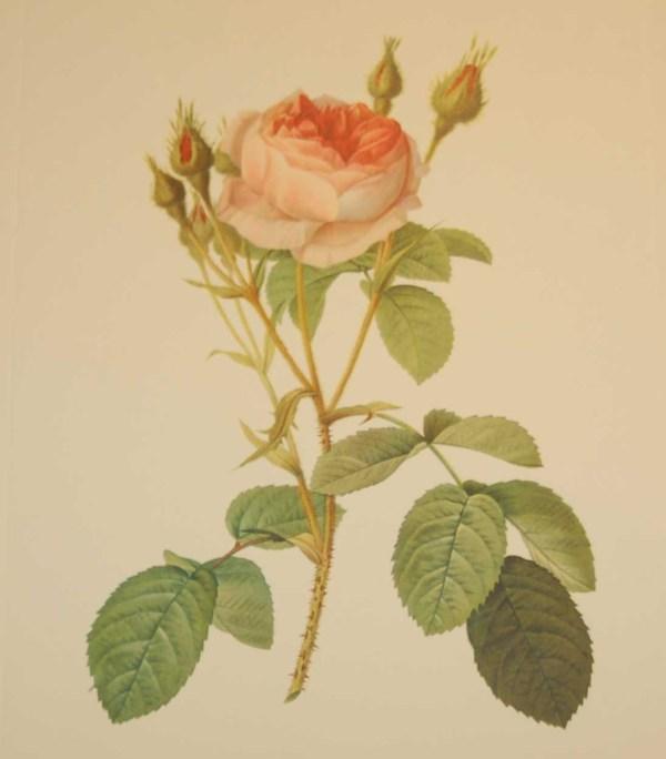 Beautiful vintage print after the legendary painter of Roses, P J Redouté, titled, Rosa Muscosa Multiplex, Rosier mousseux a fleurs doubles.