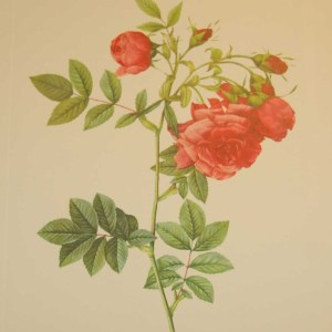 Beautiful vintage print after the legendary painter of Roses, P J Redouté, titled, Rosa Rapa, Rosier Turneps.
